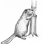 Beaver_gnawing_proppedNew